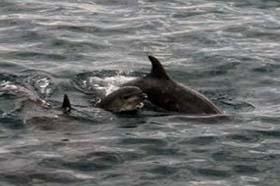 news-151112-1-1-mother-and-juvenile-bottlenose-280w